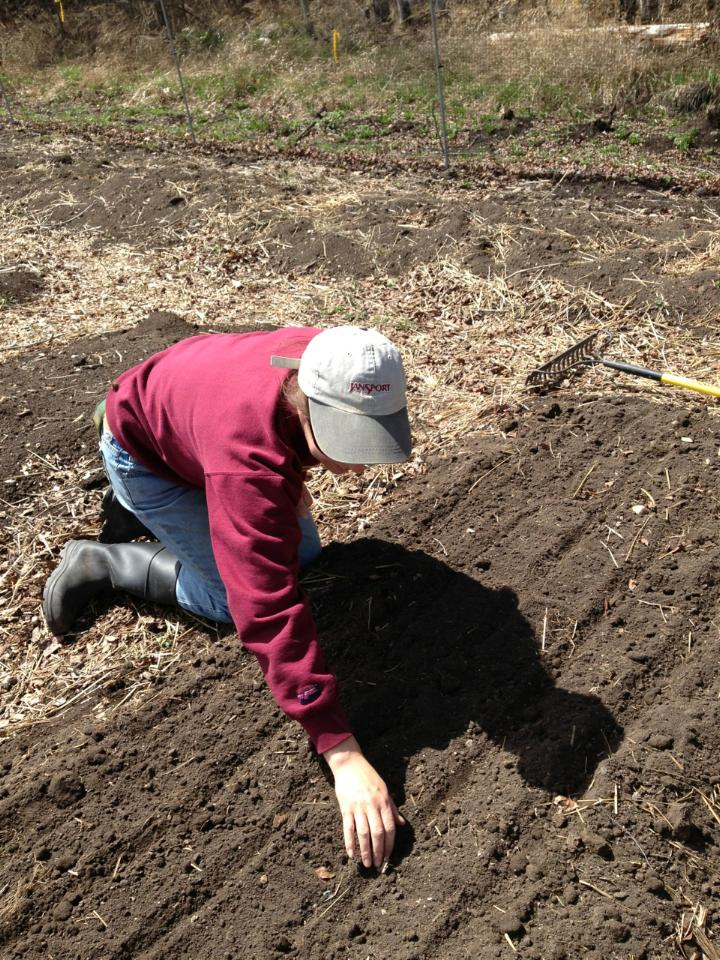 Planting Sugar Snap Peas on our first major planting day this year.