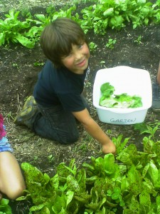 This camper really got into harvesting lettuce for the camp dinner salad!
